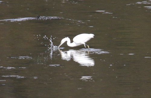 little egret1