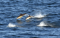 Dolphins (iainsmith355) Tags: sea ferry nikon dolphin outer common minch calmac hebrides d810 7003000mmf4056