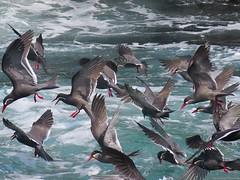 Islas Ballestas (david.almazul) Tags: peru birds seagull flock islas zarcillo paracas bandada ballestasisland larostemainca gaviotinzarcillo birdsofislaballestas