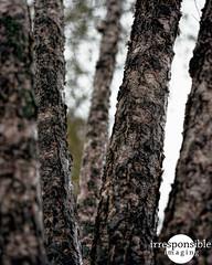 Tree Stand (Irresponsible Imaging) Tags: autumn color mamiya film analog photoshop mediumformat rainyday kodak scanned epson analogue grainy lightroom selfdeveloped jimrichards c41 homedeveloped colorfilm colornegative scannedfilm vuescan kodakportra160 mamiyarz67proii digitalpostprocessing epsonv600 epsonv600photo fall2015 irresponsibleimaging fineartonfilm