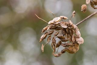 Umbel Seeds
