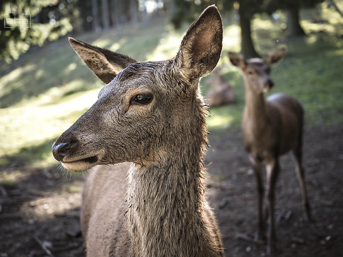 Red deer portrait at #NaturparkHoheWand