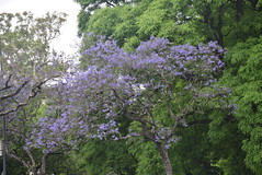 Argentina. Buenos Aires. Jacaranda. (Anne & David (Use Albums)) Tags: argentina jacarandatree sightseeinginbuenosaires visitingbuenosaires