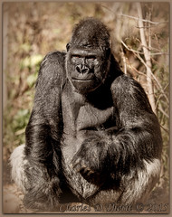 A Handsome Guy (ctofcsco) Tags: 12500 1div 20 200mm 2015 canon classmammalia colorado daylight denver ef200mm ef200mmf2lisusm eos1dmarkiv explore f2 familyhominidae gorilla iso100 male orderprimates silverback sunshine supertelephoto telephoto unitedstates usa westernlowlandgorilla wwwdenverzooorg animal bokeh denverzoo explored geo:lat=3975024770 geo:lon=10494968870 geotagged nature northamerica statecapitol vinestreethouses wildlife zoo outdoor portrait best wonderful perfect fabulous great photo pic picture image photograph