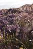 Heather bokeh (Melvinia_) Tags: flowers light plants nature southwales wales fleurs 50mm purple unitedkingdom bokeh lumière heather violet breconbeacons erika sunsetlight plantes heide royaumeuni paysdegalles bruyère canoneos450d digitalrebelxsi
