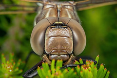Portrait of a Dragonfly (affectatio) Tags: macro bug insect dragonfly odonata mpe65 focusstack zerene