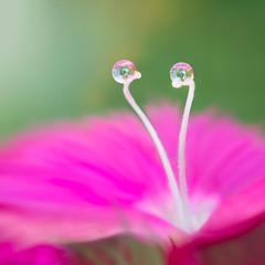 Neighbors (Elizabeth_211) Tags: pink flower macro reflection green closeup drops tennessee refraction jacksontn westtn sherielizabeth