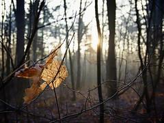 December forest (pszcz9) Tags: polska poland przyroda nature natura las forest liść leaf zbliżenie closeup bokeh pejzaż landscape beautifulearth sony a77 grudzień december słońce sun