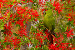 Slender-billed Parakeet - Enicognathus leptorhynchus - Choroy in Chilean Firebush (Paul B Jones) Tags: slenderbilledparakeet enicognathusleptorhynchus choroy riochepu chepuriver chiloéisland isladechiloé chile bird parakeet conure parrot nature wildlife animal wild endemic embothriumcoccineum chileanfiretree chileanfirebush notro ciruelillo camouflage green red hidden color colours southamerica southamerican südamerika amériquedusud sudamerica chilean chilenos patagonia patagonian photo photograph image picture trip travel birdschile tour tourism ecotourism tourist birding birdwatching