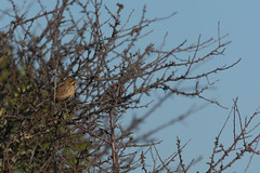 Bruant des roseaux (Emberiza schoeniclus) (legac.clement) Tags: oiseau nikon vol zoom 400 120400 sigma bruant roseaux emberiza schoeniclus
