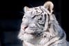 Apollo ♂ - On a Clear Day (Belteshazzar (AKA Harimau Kayu)) Tags: apollo tiger zoo animal bigcat bigcats feline bengaltiger pantheratigristigris königstiger indischertiger eltigredebengala tigredubengale latigrerealedelbengala бенгальскийтигр 孟加拉虎 whitetiger weisertiger tigreblanco tigreblancroyal белыйтигр 孟加拉白虎 zooshot tobu tobuzoo snowwhite mirrormirror babytiger baby kid keddo