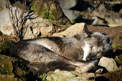 Schlafender Wolf / Sleeping Wolf (R.O. - Fotografie) Tags: wolf schlafen sleeping sunbathing sonnen erlebniszoo zoo hannover bokeh closeup close up panasonic lumix dmcfz1000 dmc fz1000 fz 1000 steine stone outdoor animal tier
