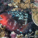 Pacific Bullethead Parrotfish, initial phase in mucus cocoon at night - Chlorurus spilurus