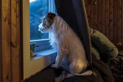 Sara. Why is it raining again? 2/52 (Tõnno Paju) Tags: 52 weeks for dogs dog animal pet pets jack russel sara