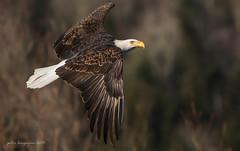 American Bald Eagle (Peter Bangayan) Tags: