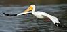 LakeChabot_123116_222 (kwongphotography) Tags: lakechabot castrovalley birds calif americanwhitepelican pelican wildlifephotography nature naturephotography wildlife birdsinflight unitedstates