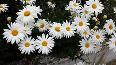 Project 365:021 (Jacqi B) Tags: project365 project3652017 daisies explored flowers whiteflowers