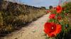 Roselles al Camí Ral (mbermejo23) Tags: amapola camino penedès pedraseca flores paisaje naturaleza primavera