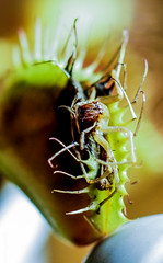 Venus-gets-meal (c4mtr0n1) Tags: green venus fly trap vft plant carnivorous spider escape macro insect