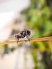 Acrobatic Fly (vivid_ray) Tags: macro water drop droplet fly insects insect light acrobatic acrobat closeup nature natural beautiful beauty bangladesh ngc colors color bugs bug