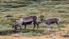 Hey mom! (Ha-Tschi) Tags: pentax ks2 tamron 70300mm norway jotunheimennationalpark jotunheimen reindeer rangifertarandus