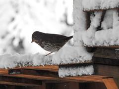 Snowbird 4 - Snowpocalypse 2017_11