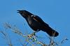 AMERICAN CROW 10 (k.nanney) Tags: americancrow corvusbrachyrhychos crow corvid bird texasbirds texaswildlife joepoollake cedarhillstatepark dallascounty texas nikon d500 nikkor300mm afsnikkor300mmf4difed tc14eii kennethnanney kennanney nanney