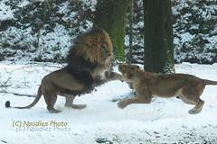 Familienstreit - Family disputes (Noodles Photo) Tags: burgerszoo niederlande arnhem arnheim löwe lion lioness pantheraleo groskatze carnivora canoneos1dmarkiii ef100400mmf4556lisusm cat raubtier