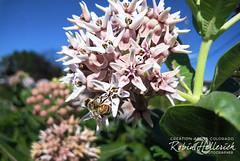 IMG_2419RMH 12.1 CMYK WebsiteRGB (creationartistcoPHOTO) Tags: bee animal flower purple photography photo beewing outdoors closeup macro honey honeybee