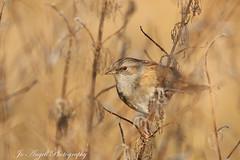 Dunnock (jo.angell) Tags: bird wild