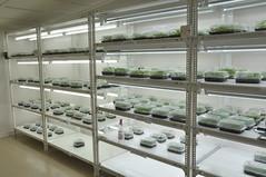 Cassava plantlets (IITA Image Library) Tags: cassava manihotesculenta semiautotrophic hydroponic propagation