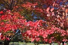 Maple Beech (cmu chem prof) Tags: mountpleasant isabellacounty michigan centralmichiganuniversity autumn fallcolor circularpolarizer mapletree