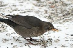 Amselweibchen - Female blackbird (riesebusch) Tags: berlin garten marzahn vögel