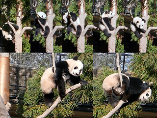 Bei Bei on the Eucalyptus  2017-01-26 at 10.29–.36 AM
