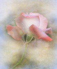 rose (Ani Carrington) Tags: rose textured soft pastel flower drops raindrops teardrops pink pinkflowers flowers petals delicate