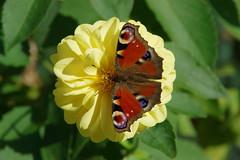 Tagpfauenauge Dahlien (Aah-Yeah) Tags: tagpfauenauge peacock nymphalis io schmetterling butterfly tagfalter marquartstein achental chiemgau bayern dahlien georginen