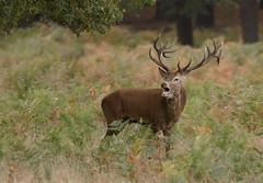 Red-Deer-8093 (Kulama) Tags: reddeer deer nature wildlife stag rutting animals woods bracken fern canon7d sigma150600563c