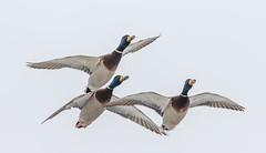 Mallards (tods_photo) Tags: ifttt 500px flight duck ducks mallard bird birds wildlife water sky blue winter male green lake