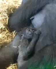 Sleeping baby gorilla (TravelsJ19) Tags: gorillas babygorilla