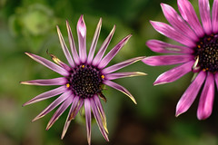 unwinding... (fromkmr) Tags: sonya99ii africandaisy inthegarden blooms flower
