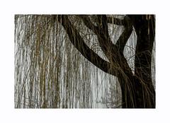Un saule en hiver (hélène chantemerle) Tags: arbres branche tronc saule gris jaune tree twigs willow grey yellow winter outside