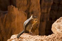 IMG_4892 (Cris_Pliego) Tags: nationalpark nature canyon utah usa squirrel