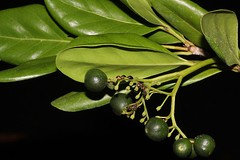 Psydrax banksii (andreas lambrianides) Tags: rubiaceae canthiumsp arfp cyrfp qrfp monsoonarf littoralarf psydraxbanksii psydrax australianflora australiannativeplants australianrainforests australianrainforestplants australianrainforestfruitsandseeds australianrainforestseeds australianrainforestfruits arffs greenarffs