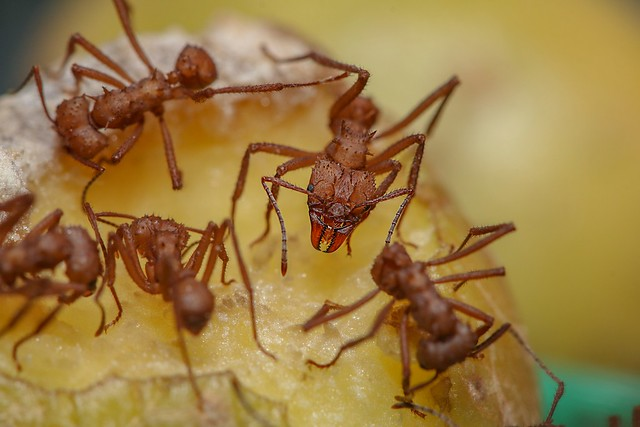 Leaf ctter ants cutting Raw potatoe