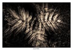 Fougères #1 (triple exposition) (Laurent Asselin) Tags: fougères plante plantes graphisme monochrome sepia expositions triple effet recherche