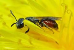 Gewöhnliche Zwerg-Blutbiene,w hat überwintert 5mm lang , NGIDn696500476 (naturgucker.de) Tags: ngidn696500476 naturguckerde sphecodesminiatus oberursel cklausduehr