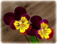 johnnies (milomingo) Tags: plant flower nature closeup garden botanical blossom petal bloom mygarden viola multicolor johnnyjumpup abigfave