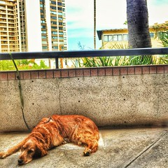 Looking completely bored outside my office window. (Jon & Brigid) Tags: california ca dog goldenretriever square golden sandiego lajolla retriever squareformat theo perpetua theodore iphoneography instagramapp uploaded:by=instagram foursquare:venue=4dc171101f6e7441cf4db31d