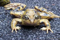 Frog (mick goeree) Tags: macro frog 60mm efs kikker