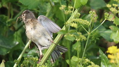 Linotte mlodieuse, Af (R, 2014-05-04_21) (th_franc) Tags: oiseau linottemlodieuse